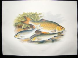 Houghton 1879 Folio Antique Fish Print Azurine, Dobule, Rudd